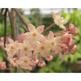 Hoya polystachya 30 cm