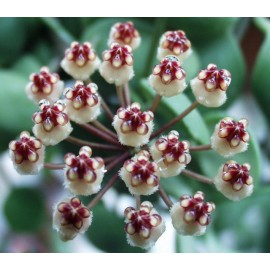 Hoya incurvula 30 cm