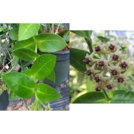 Hoya densifolia dark flowers