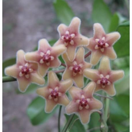 Hoya flavida
