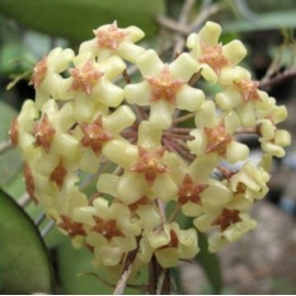 Hoya fusco marginata