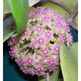 Hoya glabra 30cm