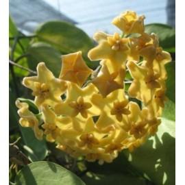 Hoya kenejiana variegata