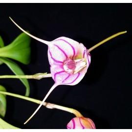Masdevallia yunganensis
