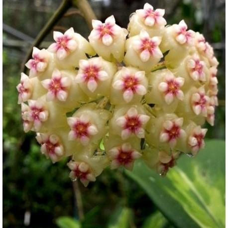 Hoya kerii variegata