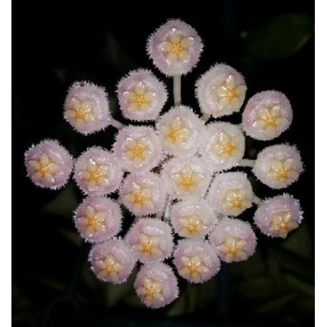 Hoya lacunosa obscura