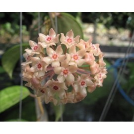 Hoya latifolia 30 cm