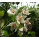 Hoya leucorhoda 30 cm