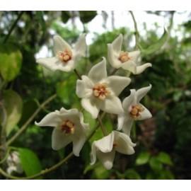 Hoya leucorhoda XL