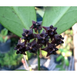 Hoya lobbii noir foncé 30 cm