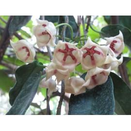 Hoya archboldiana blanc 30 cm