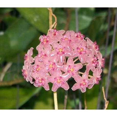 Hoya aldrichii 30 cm