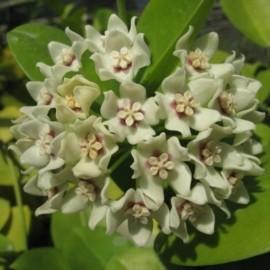 Hoya australis XL