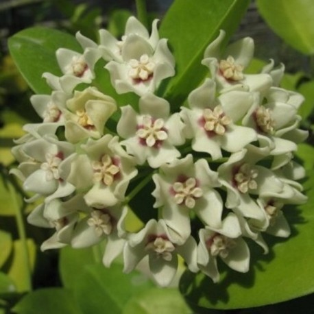 Hoya australis 30 cm