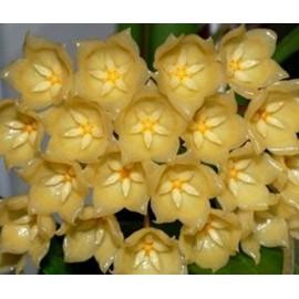 Hoya blashernaezii 30 cm