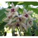 Hoya buotii 5-10 cm