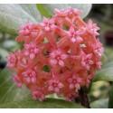 Hoya camphorifolia XL