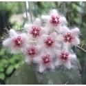 Hoya caudata 'sumatra' 30 cm