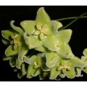 Hoya chloranthae 30 cm