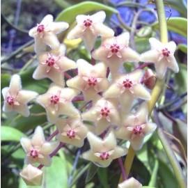 Hoya chloranthae var tutuilensis 30 cm