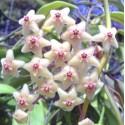 Hoya chloranthae var tutuilensis XL