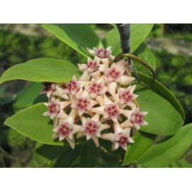 Hoya darwinii 30 cm