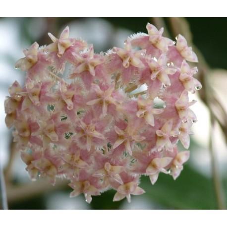 Hoya erysthrostemma pink 30 cm
