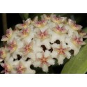 Hoya erysthrostemma light pink XL