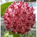 Hoya erysthrostemma dark pink XL