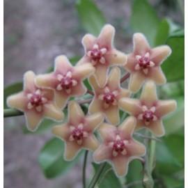 Hoya flavida XL