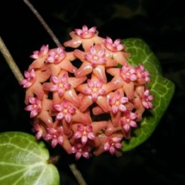 Hoya fitchii XL