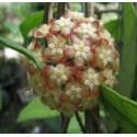 Hoya finlaysonii 30 cm