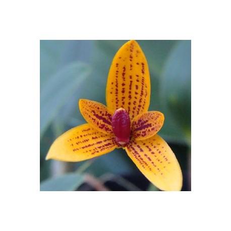 Bulbophyllum pardolatum