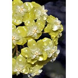 Hoya forbesii 30 cm