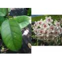 Hoya fungii XL