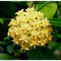 Hoya mindorensis 'yellow' 30 cm