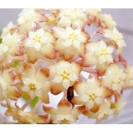 Hoya macrophylla white margins XL