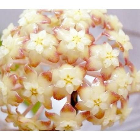 Hoya macrophylla white margins