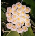 Hoya nabawensis