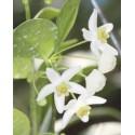 Hoya odorata 30 cm