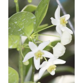 Hoya odorata XL