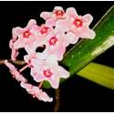 Hoya CV 'minibelle' (carnosa x shepherdii)