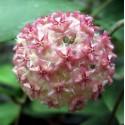 Hoya mindorensis 'pink' 5-10 cm