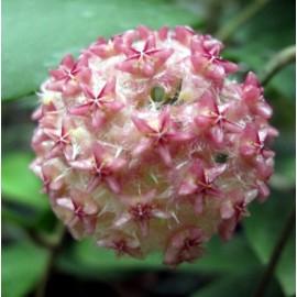 Hoya mindorensis 'pink' XL