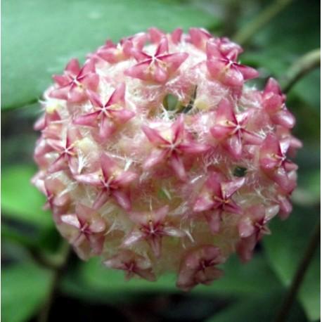 Hoya mindorensis 'pink' 30 cm
