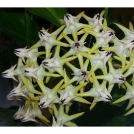 Hoya multiflora philipinas 5-10 cm