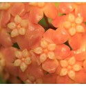 Hoya neo ebudica 30 cm