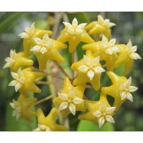 Hoya nicholsoniae 30 cm