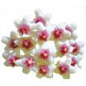 Hoya nummulariodes 5-10 cm