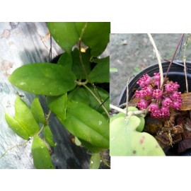 Hoya pahang 5-10 cm